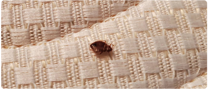 Bed Bug Control Annerley