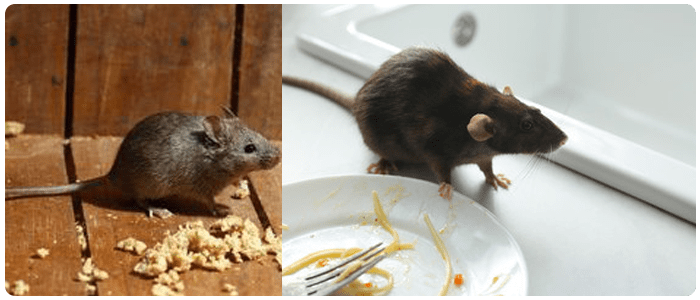 Rodent Control Annerley